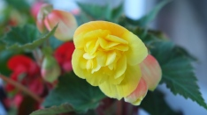 The Begonia
